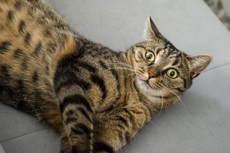 5 мифов о кастрации котов