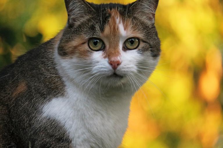 7 причин кастрировать кошку